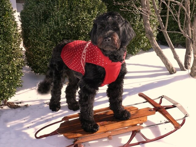 Portuguese Water Dog Training and Care